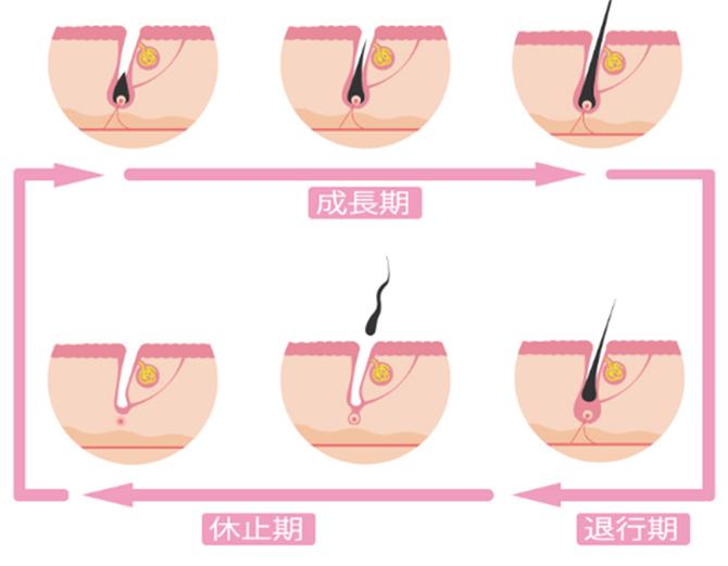 毛周期とは毛が生え替わるサイクルのことです。
