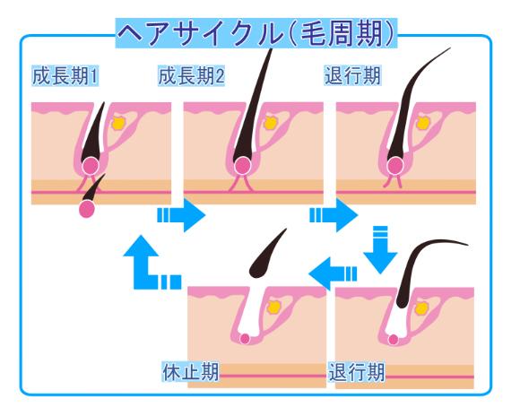 医療脱毛の効果を最大限得るためには毛周期を考えよう